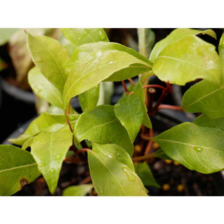 Hydrangea seemannii - evergreen hydrangea vine