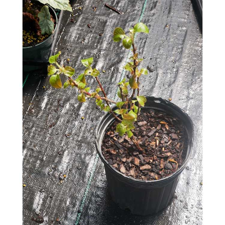Hydrangea anomala subsp. petiolaris 'Kuga Variegated'