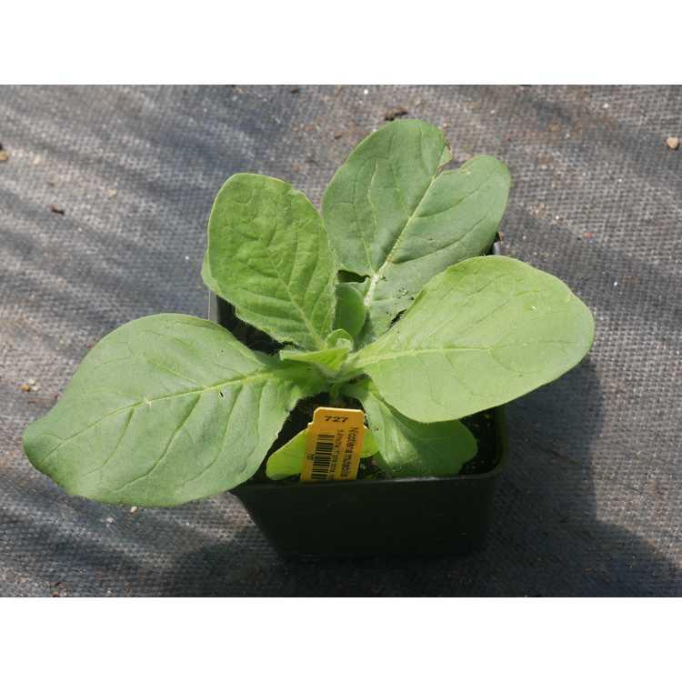 Nicotiana mutabilis