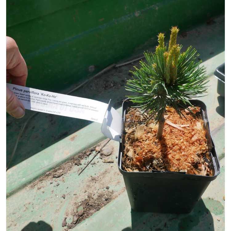 Pinus parviflora 'Kokuho'