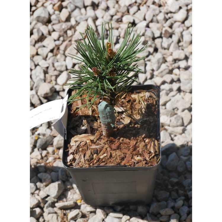 Pinus uncinata 'Aries' (No. 14 WB)