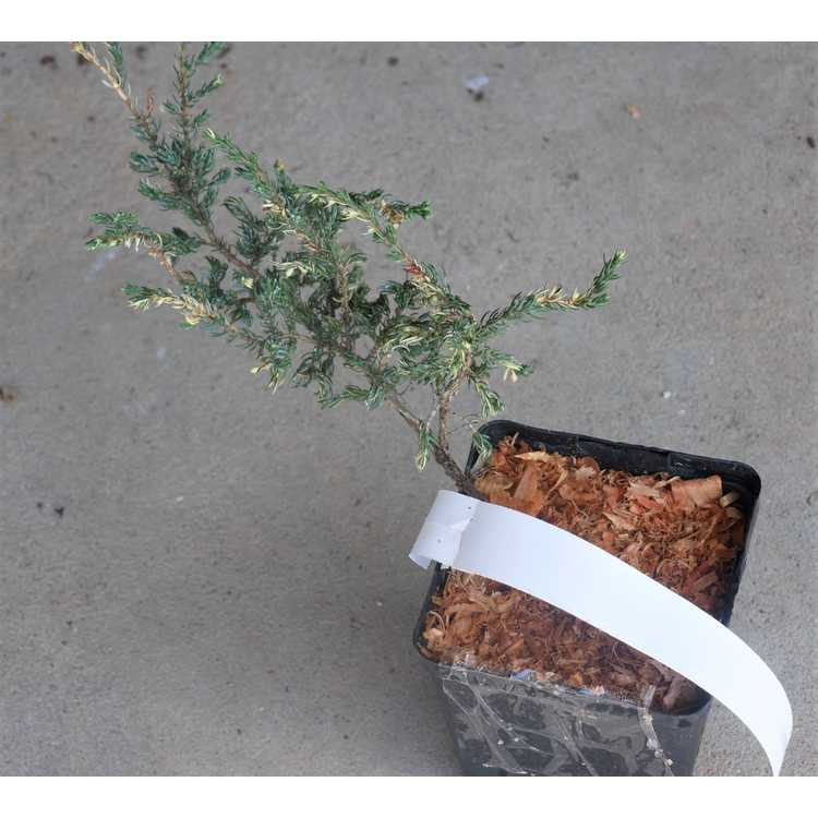 Juniperus communis 'Spotty Spreader'
