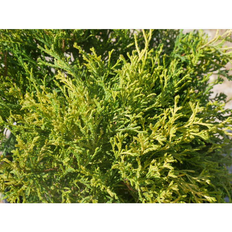 Chamaecyparis pisifera 'Lemon Yellow'