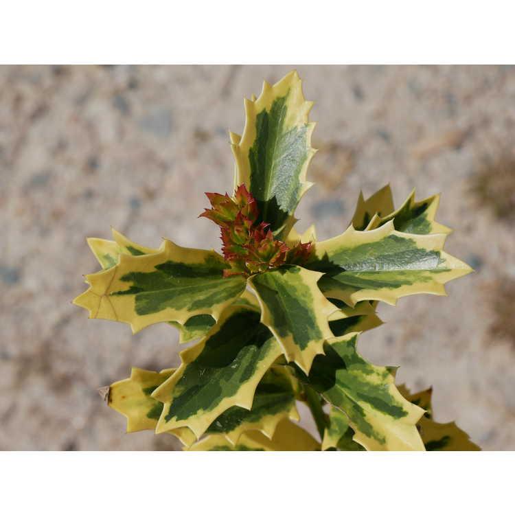 Ilex 'Solar Flare' - variegated hybrid holly