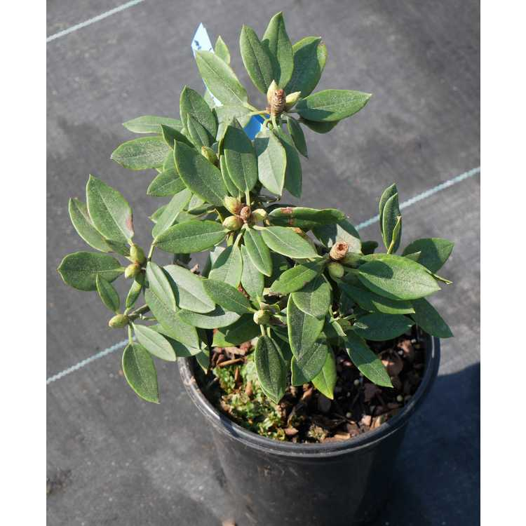 Rhododendron pseudochrysanthum 'Exbury'