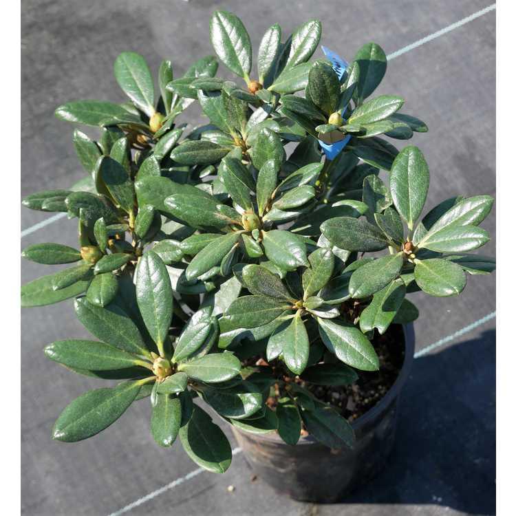 Rhododendron 'Carmen' × R. yakushimanum