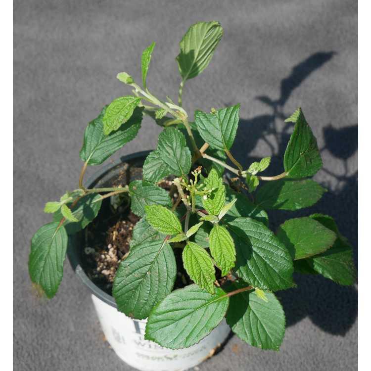 Viburnum plicatum var. tomentosum 'NCVP1'