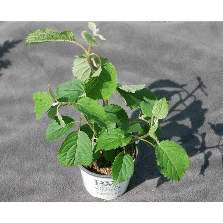Hydrangea arborescens 'NCHA7'