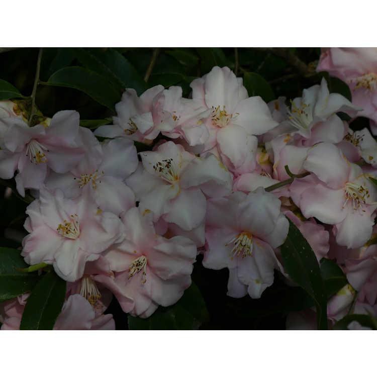 Camellia 'Blushing Fountains'
