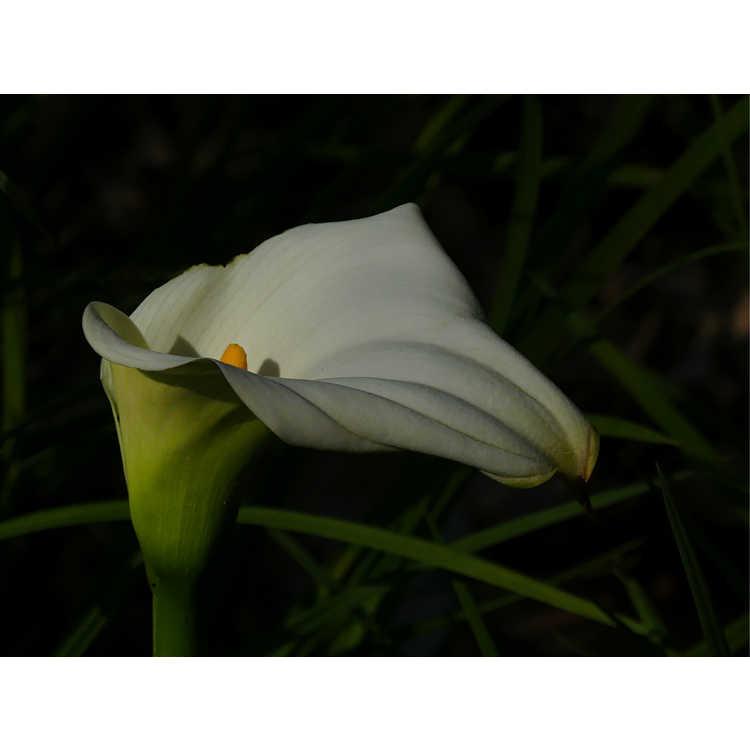 Zantedeschia aethiopica 'African Gold'