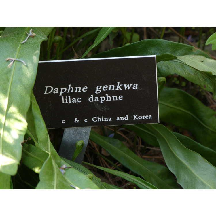 Daphne genkwa - lilac daphne