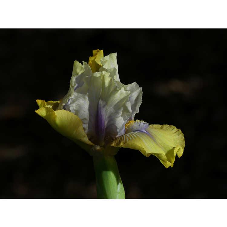 Iris 'Double Your Fun' - intermediate bearded iris