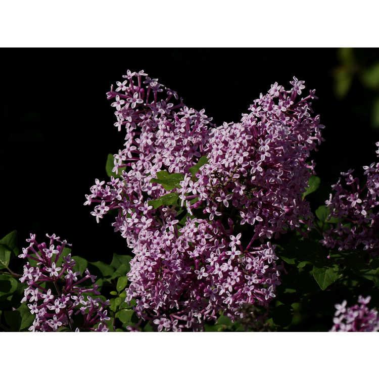 Syringa 'Penda' - Bloomerang re-blooming lilac