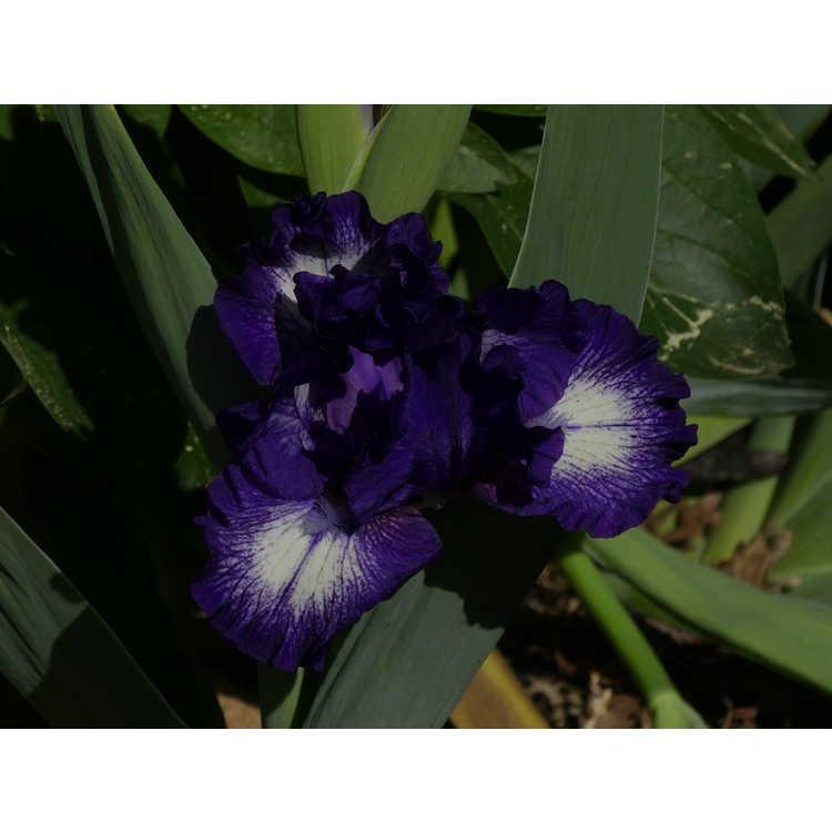 Iris 'Starwoman' - intermediate bearded iris