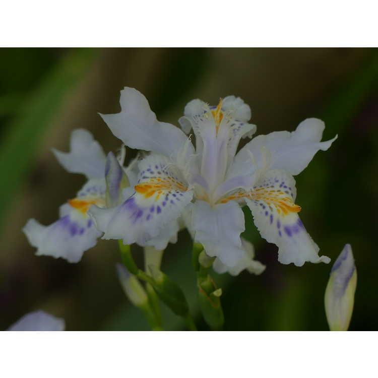 Iris japonica 'Porcelain Maiden'