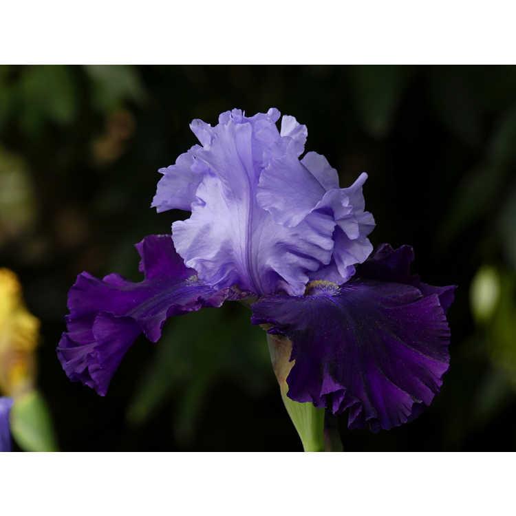 Iris 'Lilla Alberta'