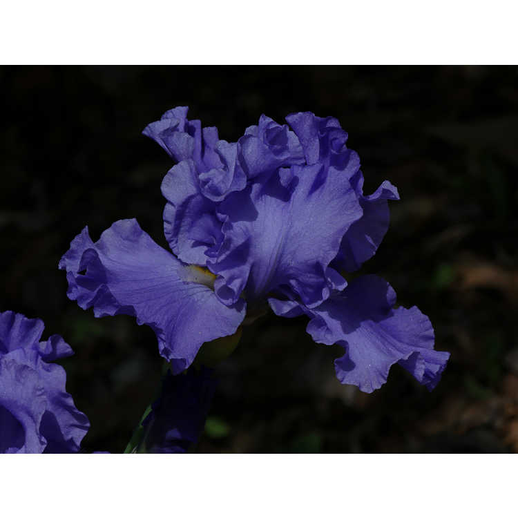 Iris 'Pure Sapphire'
