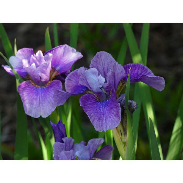 Iris sibirica 'Roaring Jelly' - Siberian iris