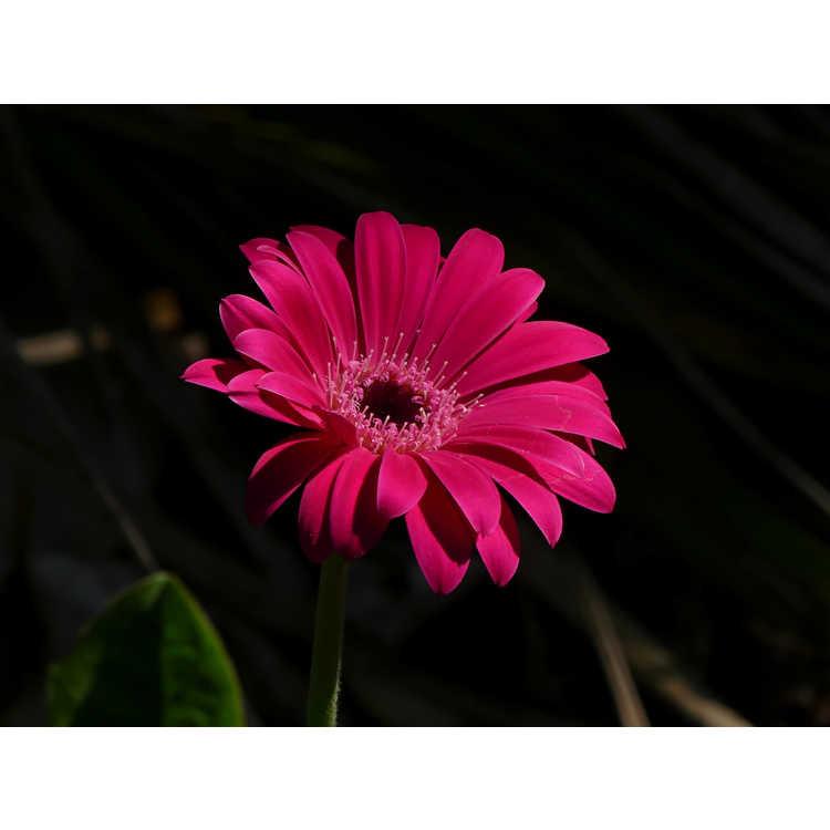 Gerbera - Garvinea Sweet Dreams Gerber daisy