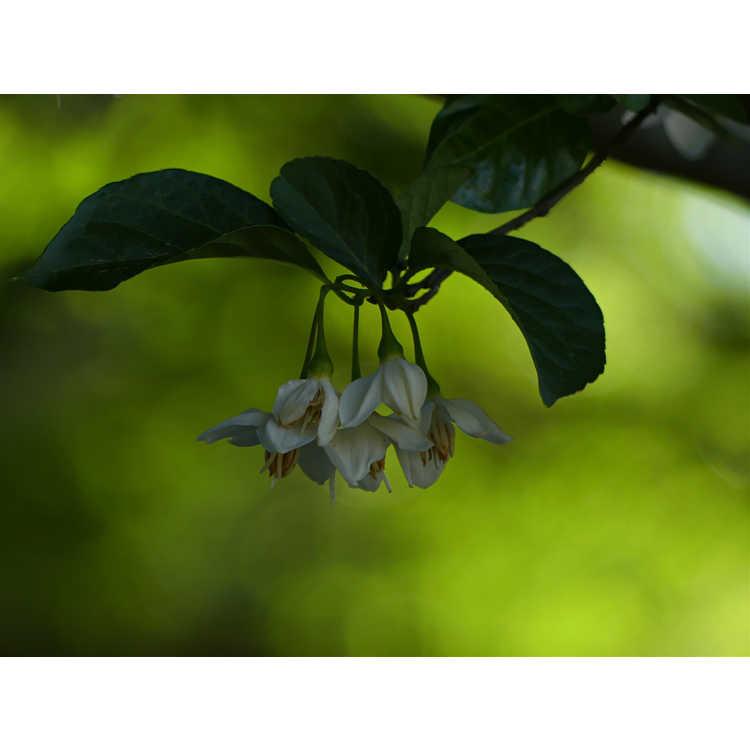 Styrax japonicus 'Emerald Pagoda' - Japanese snowbell