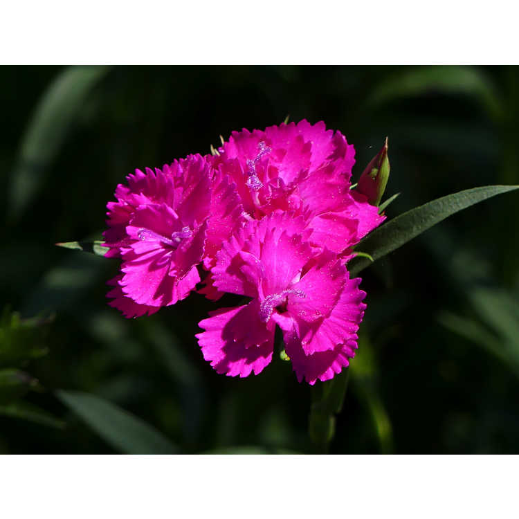 Dianthus 'Chris's Passalong' - perennial sweet William