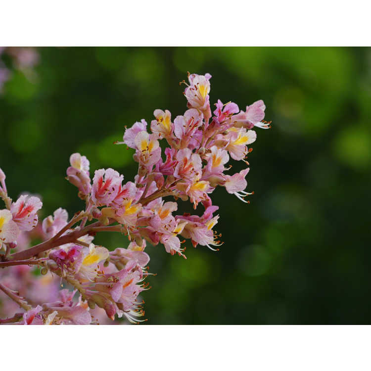 Aesculus ×carnea 'Variegata' - variegated red horse chestnut