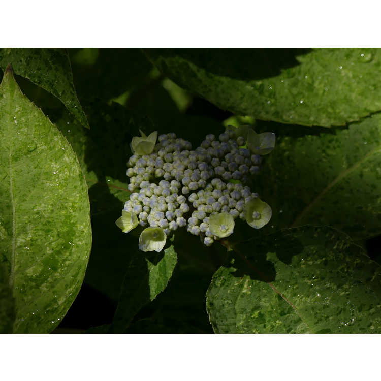 Hydrangea serrata Kokonoe-yama