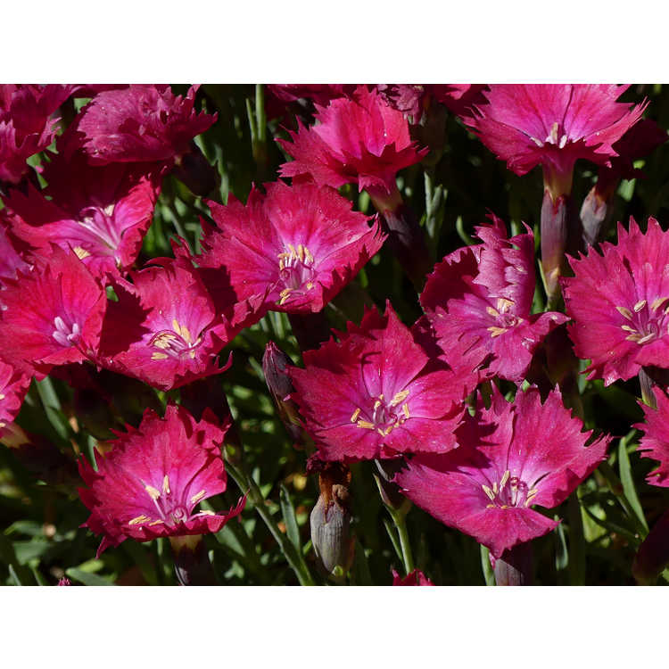 Dianthus gratianopolitanus A12228-0 Cherry Charm