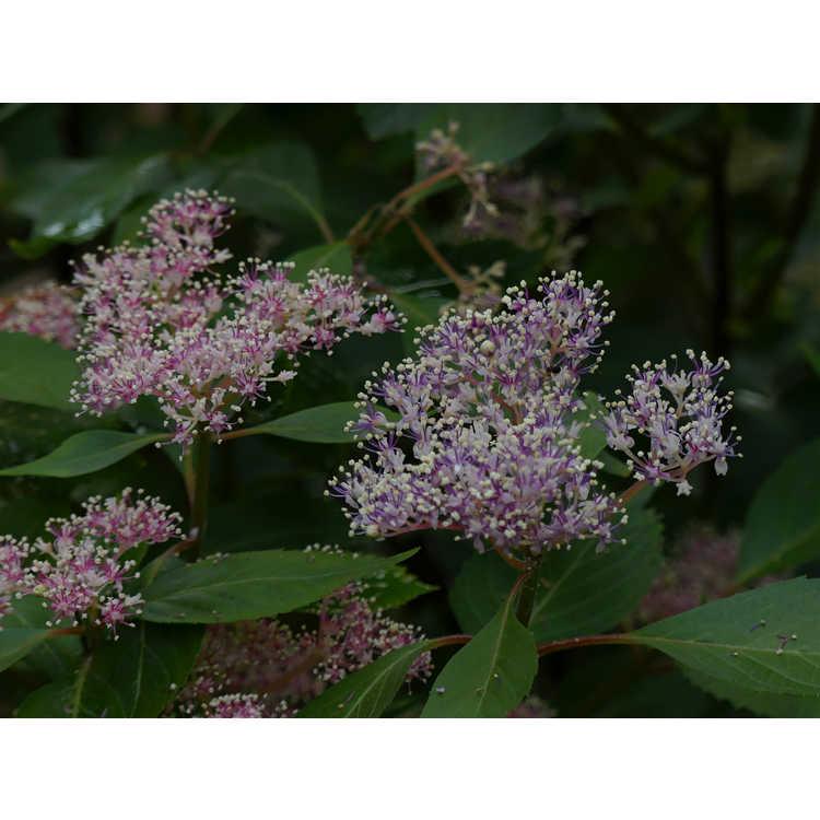 Hydrangea hirta - powder-puff shrub