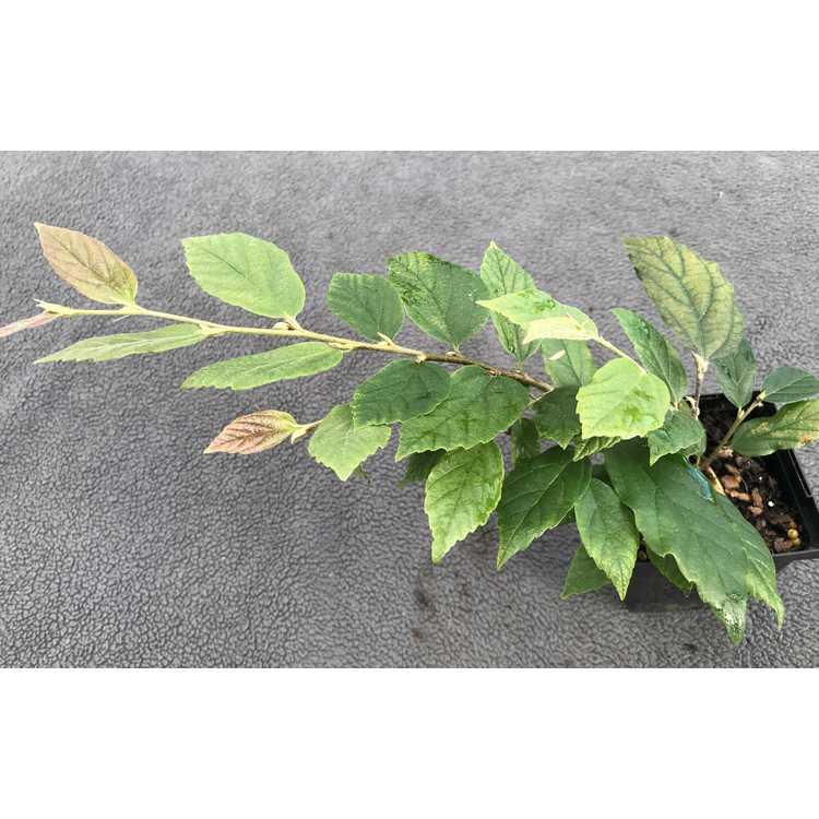 ×Sycoparrotia semidecidua 'Purple Haze'