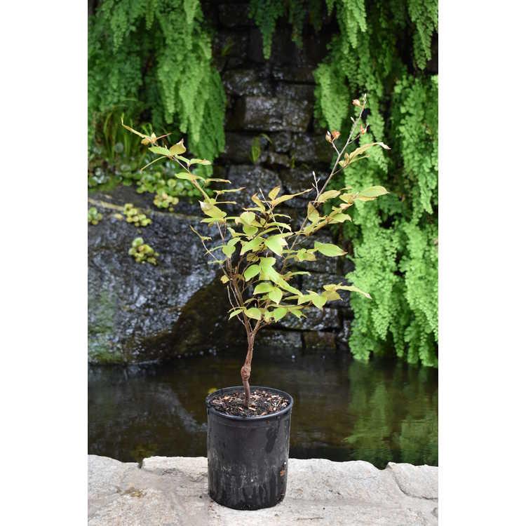 Stewartia sinensis 'Garden's Guardian'