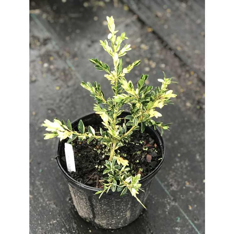 Buxus sempervirens 'Aurea Pendula'