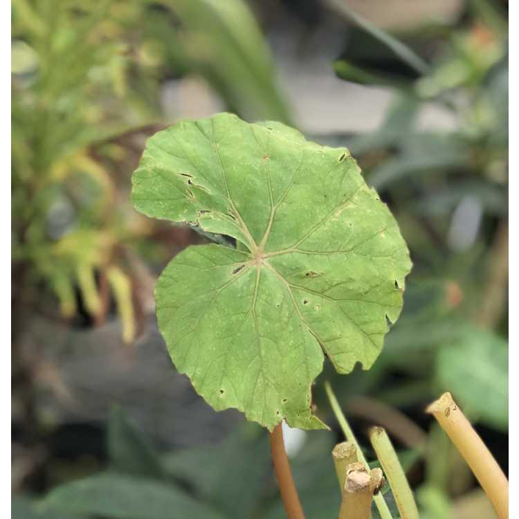 Begonia emeiensis (DJHC 580)