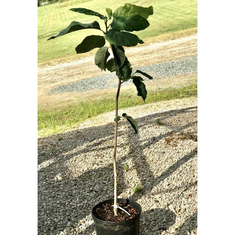 Magnolia 'JURmag5' (Honey Tulip)