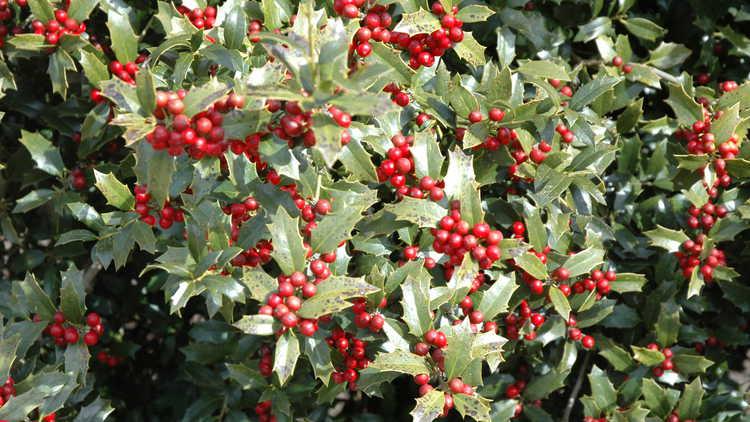 christmas jewel holly monrovia