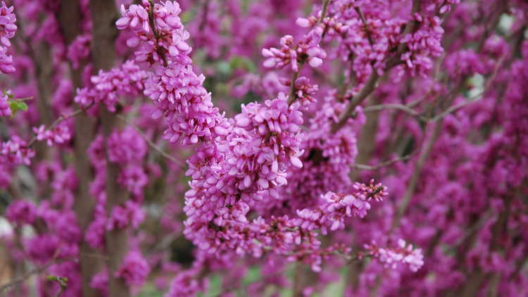 Cercis chinensis 'Kay's Early Hope'