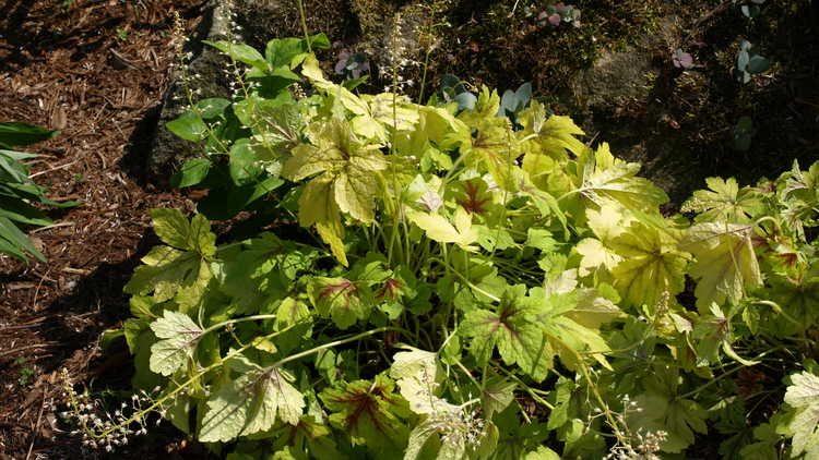 ×Heucherella 'Gold Zebra'