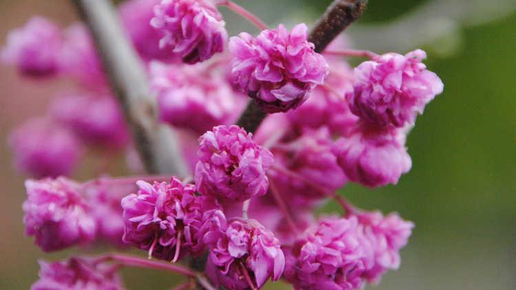 Cercis canadensis 'Pink Pom Poms'