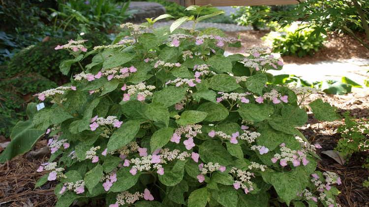 Hydrangea serrata 'Kokonoe-yama'