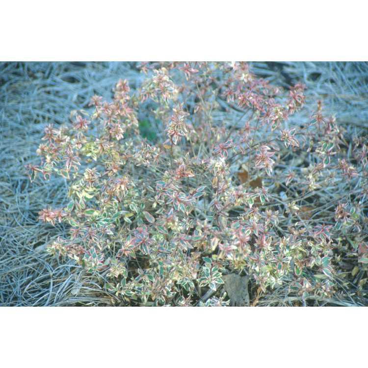 Abelia ×grandiflora 'Conti' - Confetti variegated glossy abelia