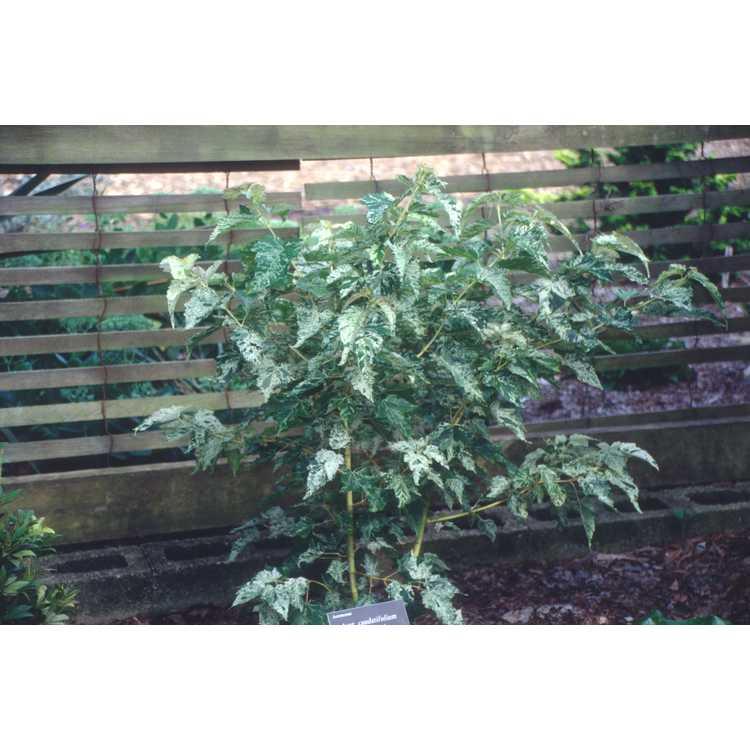 Acer caudatifolium 'Variegata' - variegated Kawakami maple