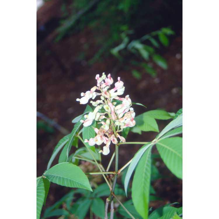 Aesculus sylvatica - painted buckeye