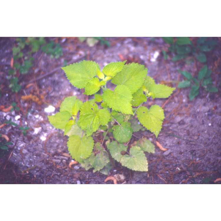 Agastache foeniculum 'Golden Jubilee' - anise hyssop