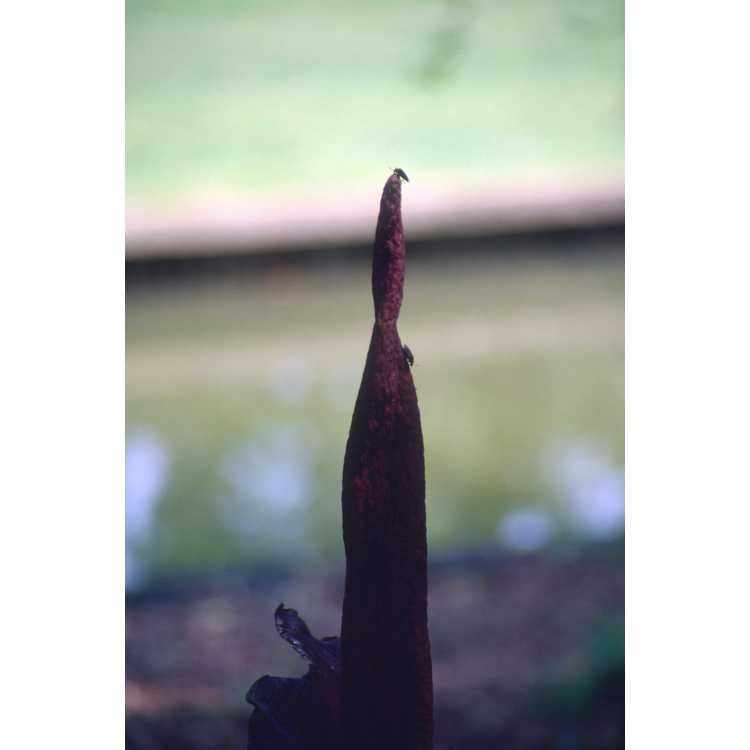 Amorphophallus konjac - devil's tongue