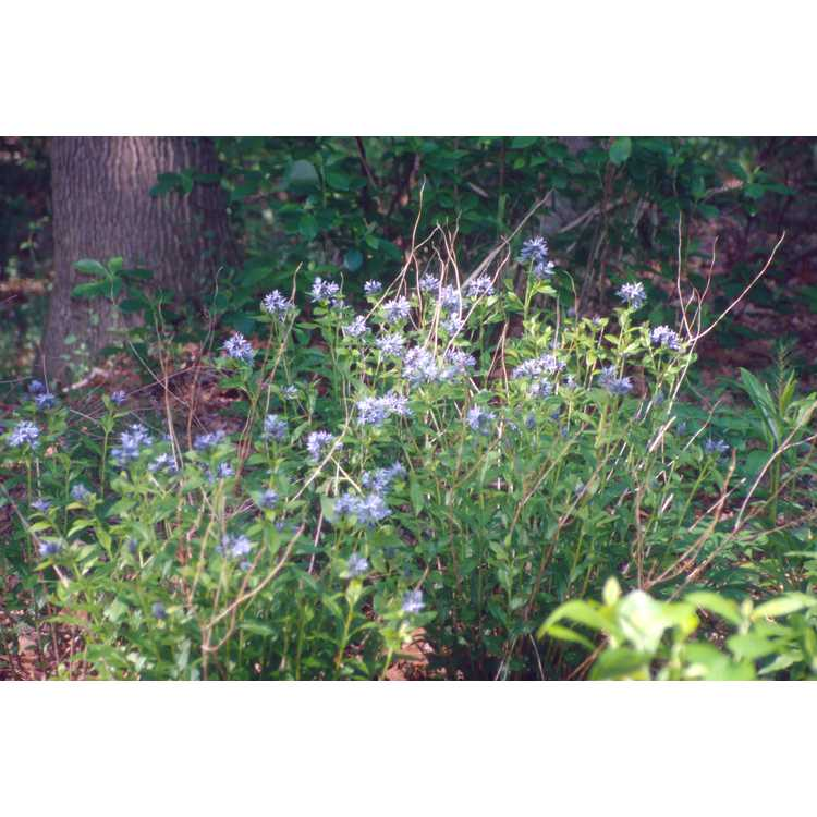 Amsonia tabernaemontana var. tabernaemontana - eastern blue-star
