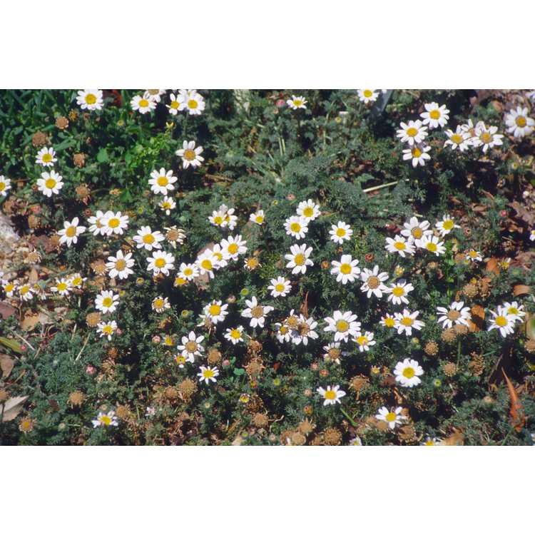 Anacyclus pyrethrum var. depressus
