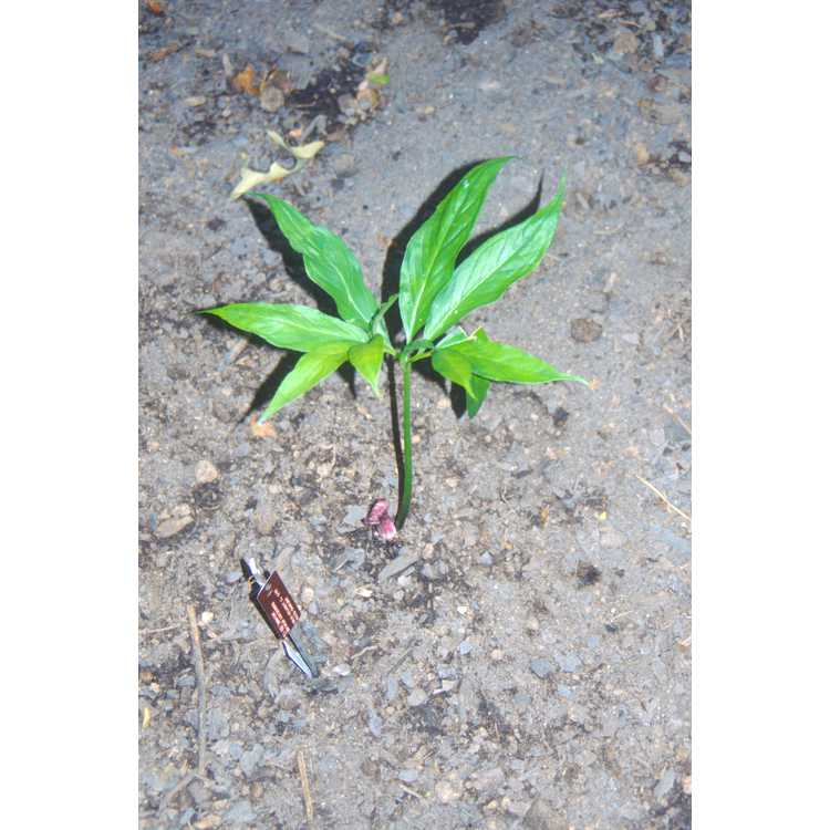 Arisaema kiushianum - Kyushu cobra-lily