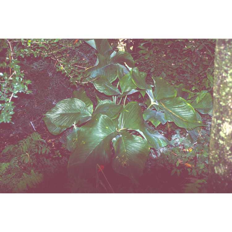Arisaema ringens - Japanese cobra-lily