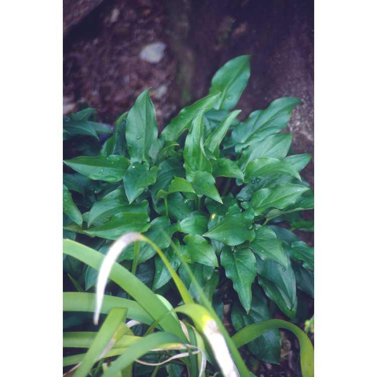 Arum concinnatum