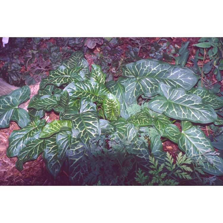 Arum italicum subsp. italicum - Italian arum